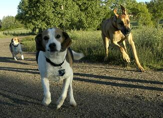 Dogs love to run - but when they are allowed to run free, it is not safe